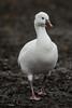 Being bossy (PChamaeleoMH) Tags: anatidae birds centrallondon geese london rosssgeese stjamesspark