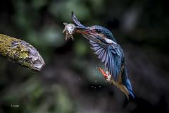 """Martín Pescador /  Kingfisher (FotoRojo  4.800k views """"100"""" Explore) Tags: kingfisher martínpescador altavelocidad unademismejoresfotos"""