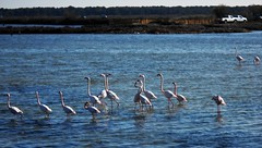 Pink Flamingos in South France (amos.locati) Tags: flamingos pink amos locati france francia la grande motte
