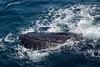 Humpback Whale (Splatito8127) Tags: california sea blue animal water beauty sealife nature channelislands waves ocean wildlife humpback whale