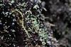 A small British Soldier lichen (rozoneill) Tags: north umpqua trail river swiftwater park bobs creek butte deadline falls oregon hiking national recreation forest idleyld roseburg glide