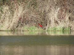 Green heron - habitat shot (elTwister) Tags: green heron butorides virescens