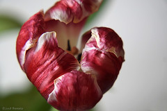 Almost gone (♥ Annieta ) Tags: annieta maart 2018 sony a6000 nederland netherlands allrightsreserved usingthispicturewithoutpermissionisillegal macro bloem fleur flower tulp tulip uitgebloeid rood red rouge