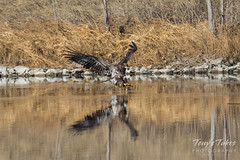 Juvenile Bald Eagle fishing attempt sequence - 5 of 8