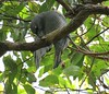 Coracina lineata lineata 8 (barryaceae) Tags: grassy head stewarts point kempsey nsw australia coracinalineatalineata australian barred cuckooshrike ausbird ausbirds