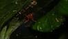Dimidamus dimidiatus ? (dustaway) Tags: arthropoda arachnida araneae araneomorphae nicodamidae victoriaparknaturereserve subtropicalrainforest alstonvilleplateau dalwood northernrivers nsw nature australianspiders australia