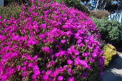 IMG_7630 (mudsharkalex) Tags: california pacificgrove pacificgroveca flower flowers