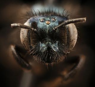 Andrena chapmanae, f, face, Yosemite Nat Park_2018-03-06-19.59