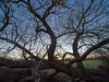 Another year (Bruce Clarke) Tags: gnarled olympus willow winter outdoor riverthame dusk trees m43 714mmf28 river chiselhampton oxfordshire floodplain sky omdem1 barebranches branches landscape sunset