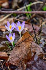 February Crocus (thatSandygirl) Tags: february spring crocus purple lavender orange yellow plant flower blossom bloom petals stamen bokeh depthoffield