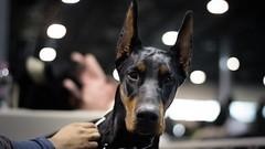 Caught look (zola.kovacsh) Tags: indoor animal pet dog show display exhibition doberman dobermann pinscher portrait