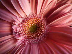 Gerbera (STEHOUWER AND RECIO) Tags: gerbera flower flora pink macro bloem bulaklak details light shadows petals petal roze netherlands spring lente season floral nature photo photography capture image