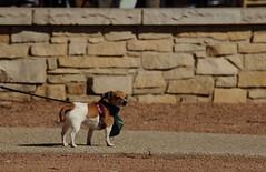 Dog Days '18, Morton Arboretum. 5 (EOS) (Mega-Magpie) Tags: canon eos 60d outdoors the morton arboretum lisle il dupage illinois usa america cute puppy dog pet