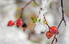 26 febbraio 2018, neve a Roma (adrianaaprati) Tags: snow snowfall rome park branches tree winter cold white nature berries