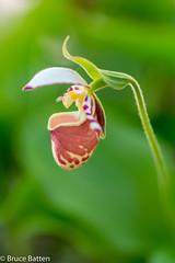 150528 Hokkaido U. Botanic Garden-17 v. 2.jpg (Bruce Batten) Tags: orchidaceae locations flowers plants subjects japan trips occasions gardensarboreta hokkaido sapporoshi hokkaidō jp