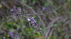 Wisteria (bamboosage) Tags: meyer optik gorlitz oreston 1850 m42