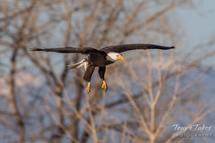 Bald Eagle makes the catch - 5 of 33
