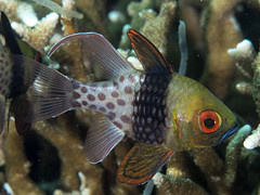 Pajama cardinalfish (Sphaeramia nematoptera)