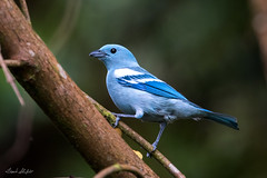 Blue-Gray Tanager (Thraupis episcopus, ssp. coelestis) (Frank Shufelt) Tags: bluegraytanager thraupisepiscopus tanagers passeriformes songbirds aves birds wildlife mocoa putumayo colombia southamerica february2018 20180211 4955 coelestis thraupidae bluegreytanager