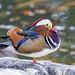 Mandarin duck on the rock