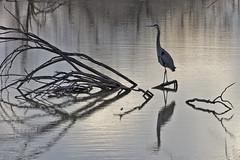 Great Blue Heron (Ardea herodias).  Bosque del Apache National Wildlife Refuge.  New Mexico, USA. (cbrozek21) Tags: heron egret greatblueheron ardeaherodias bird narure water reflection bosquedelapachenew mexico birds