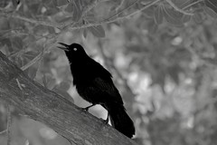 Black bird singing... (rienschrier) Tags: blackandwhite zwartwit bird vogel nature natuur