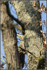 _DSC0084_Pic vert (patounet53) Tags: europeangreenwoodpecker picvert picidés piciformes picusviridis bird oiseau