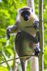 DUV_0760r (crobart) Tags: green monkey welchman hall gully barbados caribbean island jungle