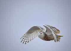 Snowy Owl Flying Overhead (Katherine Chawner Davis) Tags: snowyowl owl raptor bird nature wildlife flyover