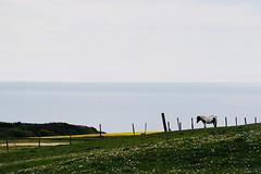 Equihen - environs de Boulogne sur mer (Claude Duboille) Tags: paysage pelouse champ fields ciel sky grass chevaux horses landscape jaune yellow mer sea cotedopale pasdecalais equihenplage hautsdefrance bleu blue claudeduboillecom ocean cheveaux nikon océan baie
