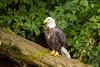 Bald Eagle, Knight Inlet Lodge, British Columbia, Canada 2017 (Fothoner) Tags: adler weiskopfseeadler lachs bald eagle knight inlet lodge british columbia kanada