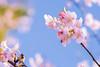 IMGL0576 (GARNETSKY2006) Tags: 180304sakura 5d3 sakura cherryblossom 50mmf12