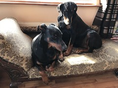 Dobermann Pinschers Saxon And Gabbana (firehouse.ie) Tags: blackandtan animals animal dogs dog gabbana saxon pinscher pinschers dobermans dobermanns doberman dobermann dobies dobie dobeys dobey dobes dobe