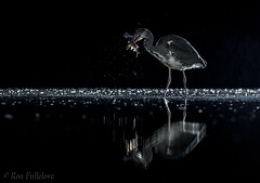 Night Fishing (Ron Fullelove) Tags: ronfullelove photography englanduk nightfishing greyheron britishwildlife britishbirds water fishing roach reflection