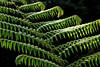 fabulous fern (oldogs) Tags: fern plant green tropical