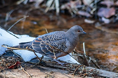 Japanese turtle dove in the forest (Hanstography) Tags: nature japan dove bird animal orientalturtledove streptopeliaorientalis wild pigeon japanese margin forest daytime wildlife suburb easternturtledove copyspace one outdoor color lovely town pretty space solo nobody background foliage feathers tree closeup grove woods park outdoors grey beauty natural plumage spotted snow winter
