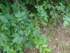 Cipadessa baccifera_Rajgad4 (Alka Khare) Tags: cipadessa meliaceae floraofmaharashtra