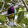 Wompoo Fruit-dove (gecko47) Tags: pigeon fruitdove wompoofruitdove ptilinopusmagnificus fig maialasection daguilarnationalpark mtglorious brisbane rainforest vivid colourful