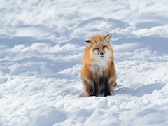 774824 (lottetoppo) Tags: olympus omd em1mark2 em1mkii 40150mm fox snow winter animal