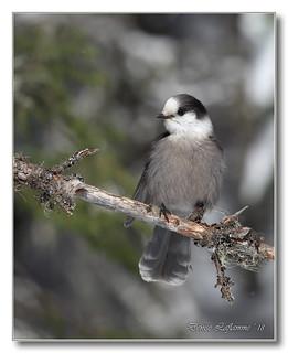1E1A6231-DL   Mésangeai du Canada   /   Gray Jay.