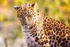Big Cat (Thomas Hawk) Tags: america forestpark missouri mo saintlouiszoo stlouis usa unitedstates unitedstatesofamerica cat cheetah zoo fav10