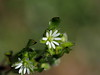 Chickweed (Stellaria media, コハコベ) (Greg Peterson in Japan) Tags: 梅 shiga hayashi plants 栗東市 ritto japan plumblossoms 植物 花 flowers 滋賀県 shigaprefecture