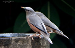 DSC00739 Chestnut-tailed Starling (Sturnus malabaricus) (vlupadya) Tags: greatnature animal aves fauna indianbirds chestnuttailed starling sturnus kundapura karnataka