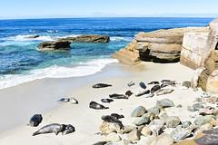 Children's Pool La Jolla (Nikkycole1) Tags: california la jolla seals ocean beach sea water bird sand bay animal rock sky coast