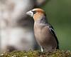 08 03 2018 (cathyk31) Tags: coccothraustescoccothraustes fringillidés grosbeccassenoyaux hawfinch passériformes bird oiseau