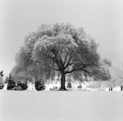 (Zeb Andrews) Tags: hasselblad film kodaktrix overlookpark portland night overexposed 6x6 mediumformat oregon pacificnorthwest blackwhite monochrome tree snowy winter delicate someonegavethetreeahaircut
