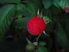 Rubus rosifolius - Rosaceae (Edson Roberto - Potim) Tags: rubusrosifolius rosaceae amoravermelha framboesavermelha