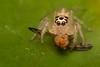 Saltarina (Wilmer Quiceno) Tags: saltarina saltadora salticidae araña spider salticida spiderjump naturaleza medellin macro eos70d macrofotografía insecto insect fly mosca