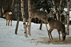 rådyr trio (KvikneFoto) Tags: rådyr roedeer natur norge hedmark kvikne tamron nikon vinter winter snø snow