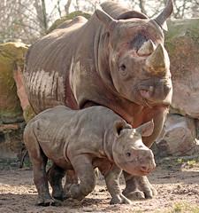 black rhino Naima and Mara Blijdorp BB2A0268 (j.a.kok) Tags: rhino rhinoceros blackrhinoceros zwarteneushoorn neushoorn puntlipneushoorn animal blijdorp mammal zoogdier dier herbivore africa afrika naima mara